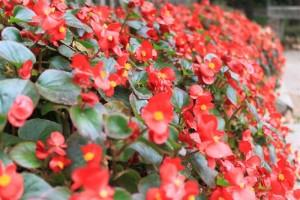 廬山、赤いお花