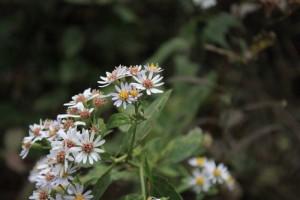 中国江西省、廬山にあった白い野花