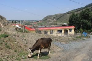 ウルムチ,南山,牛