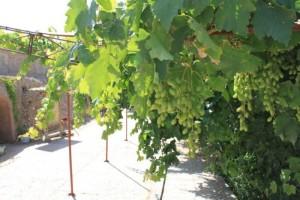 敦煌古城の近くにあったブドウ