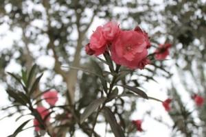 敦煌の公園,赤い花