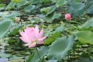 恵州西湖の蓮の花