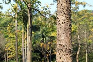 広州の植物、トゲトゲの木の幹