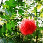 白雲山で見た赤くてモジャモジャの花