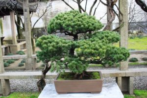 留園の盆栽、松