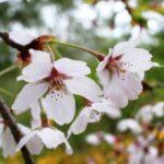 桜,染井吉野