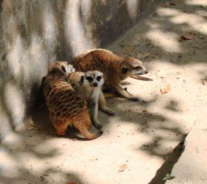 上海野生動物園のフェレット