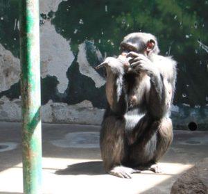 可哀想なチンパンジー