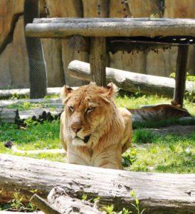 上海野生動物園のライオン