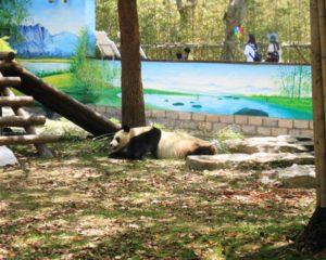 上海野生動物園のパンダ