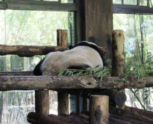 上海野生動物園のパンダ、背中