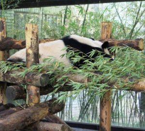 上海野生動物園のパンダと笹の葉