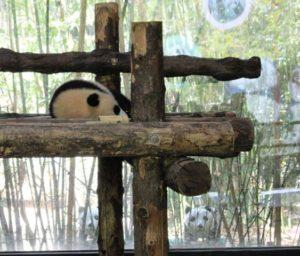 上海野生動物園の動かないパンダ