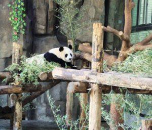 こちらを見るパンダ