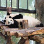 上海野生動物園のパンダ親子