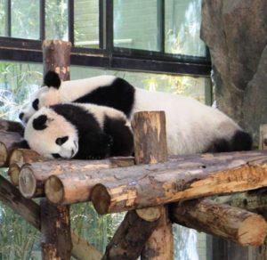 上海野生動物園のパンダ親子が寝ている
