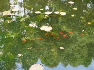 人民公園お金魚