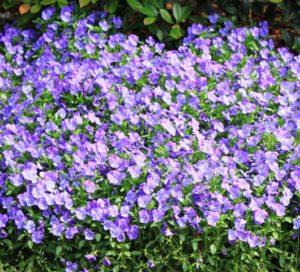 人民公園の紫の花