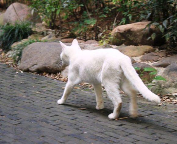 上海の白い猫
