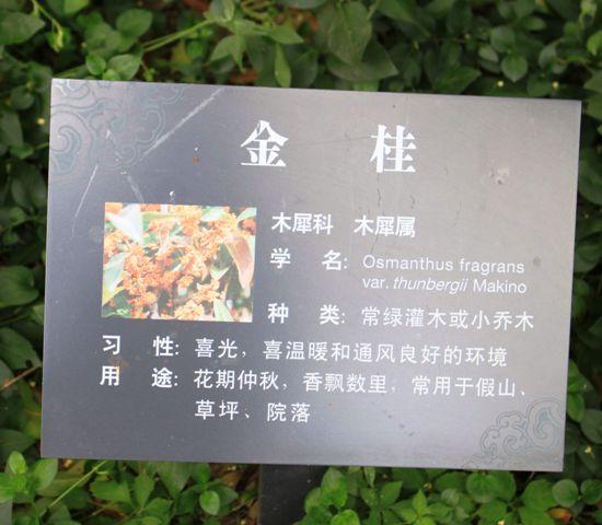 上海のキンモクセイ